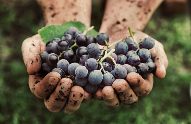 hands holding grapes